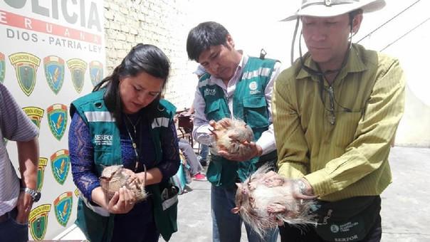 Rescatan quirquinchos de feria en estadio Melgar