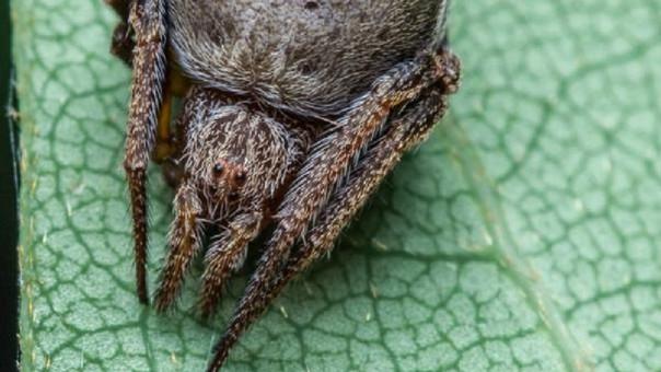 Graban extraña y enorme araña de 16 patas