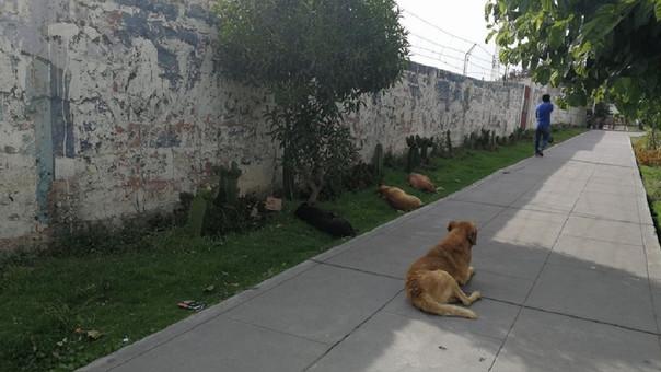 Jauría de perros en Arequipa