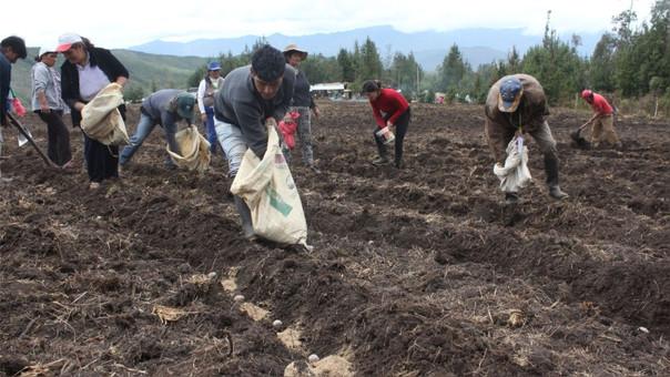 Agricultores de papa en regiones.