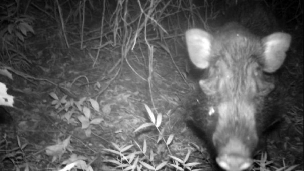 """Cámaras trampa confirman la existencia del """"cerdo más feo del mundo"""""""