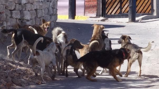 Perros vagos en Cerro Colorado