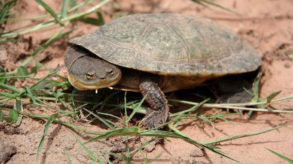 Colombia: la tortuga carranchina se enfrenta al riesgo de la extinción
