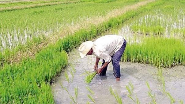 trasplante de arroz