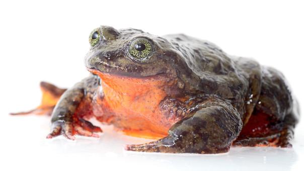 Romeo busca a Julieta: el drama de una rana salvaje que lucha contra la extinción