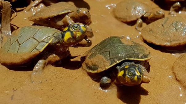 Bolivia: tráfico ilegal amenaza a la peta de río y proyecto intenta salvarla