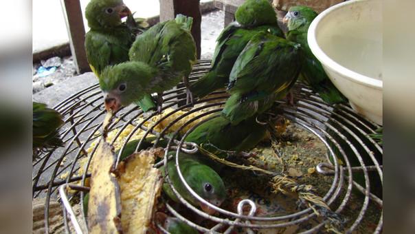 Tráfico de aves en Perú: las seis especies más buscadas en el mercado ilegal