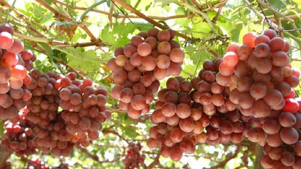 uvas exportación