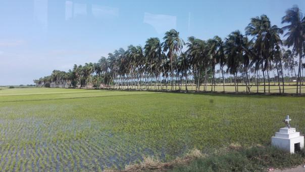 Producción de arroz disminuyó durante el 2017. Piura fue una de las regiones que menos creció económicamente.