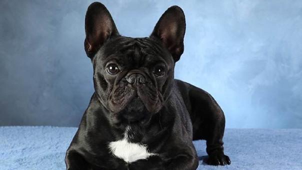Un bulldog francés similar al que falleció durante el vuelo (referencial)