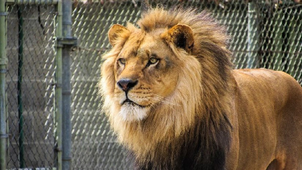 Un león en un zoológico (referencial).