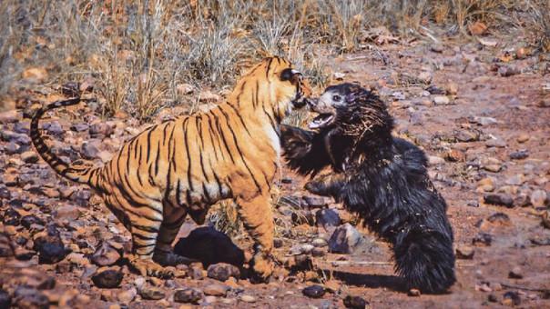 VÍDEO: Épica batalla entre un tigre y un oso bezudo que protege a su cachorro