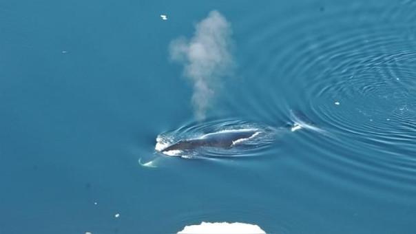 Estas ballenas habitan el Oceano Atlántico.