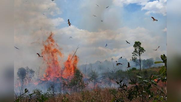 Australia: halcones desatan incendios para conseguir presas
