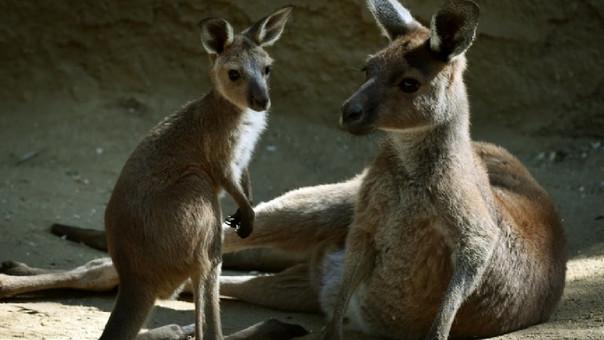 Muere canguro apedreado por el público para que saltara