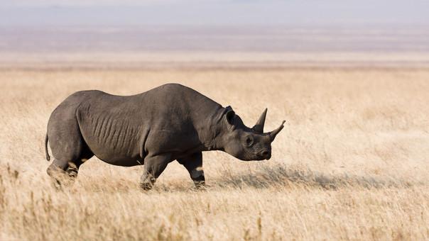 El rinoceronte negro es, de las dos especies de rinocerontes que viven en África (blanco y negro), de la que menos ejemplares quedan.