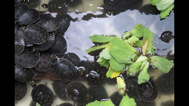 Centro de Rescate Amazónico: nueve mil pequeñas tortugas regresan a la selva del Perú