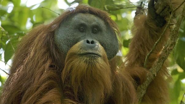Este orangután es amenazado por acciones humanas como la caza, la deforestación y la construcción de megaproyectos y carreteras.