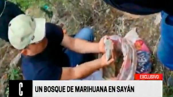 Dirandro halla bosque de marihuana a tres horas de Lima