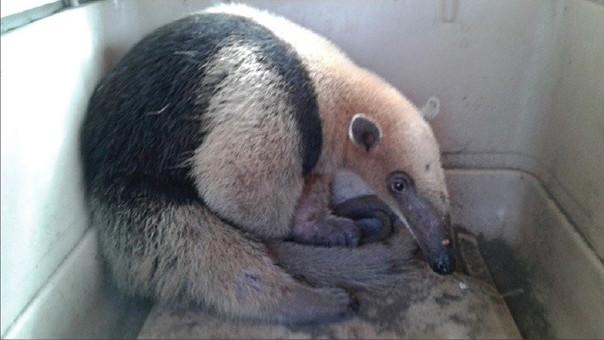 El joven oso hormiguero fue liberado en la Reserva Ecológica Mache Chindul.