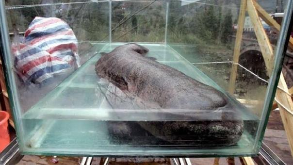 Los comensales pueden pagar hasta hasta 780 dólares por un plato elaborado con carne de este animal.