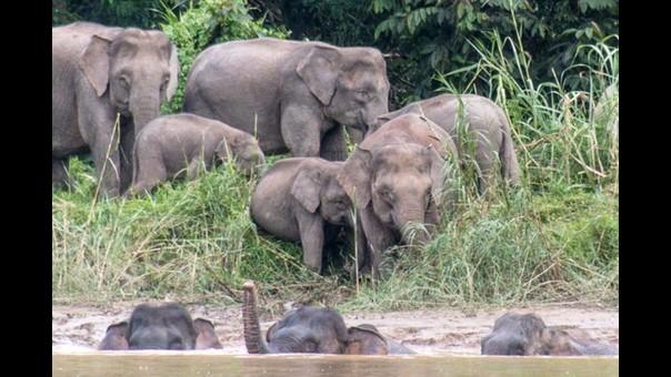 Se adaptaron: los elefantes de Borneo prefieren los bosques degradados