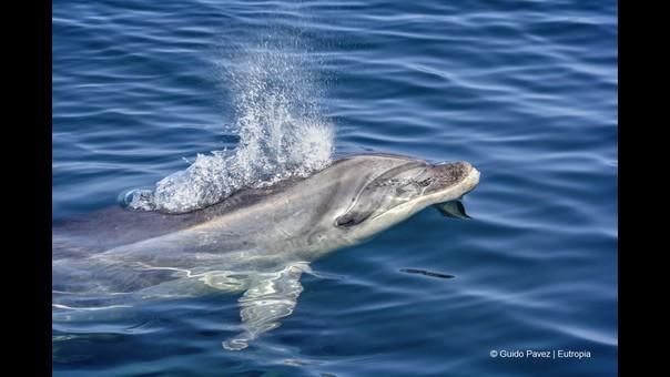 Esta es la estrategia del delfín nariz de botella para sobrevivir en el mar de Chile