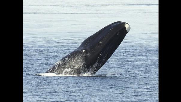 Audio: Las ballenas de Groenlandia en el Ártico cantan cientos de canciones complejas