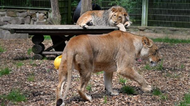 Alemania: Dos leones, dos tigres y un jaguar escaparon de zoológico