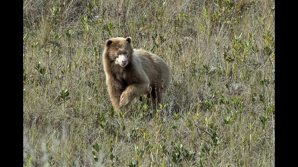 Cámara trampa capta por primera vez un oso dorado en Perú