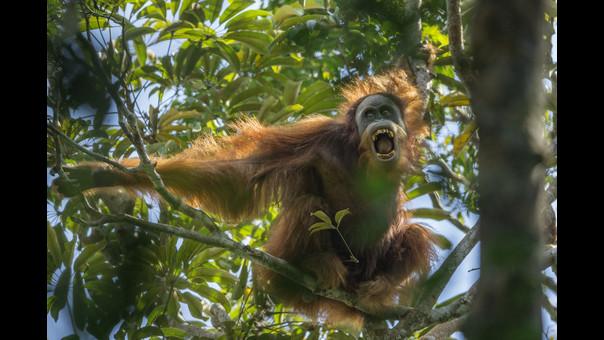 El nuevo orangután descubierto el año pasado se encuentra casi extinto