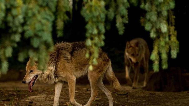 Lobos que acechan muy cerca de rebaños de ovejas en Francia.