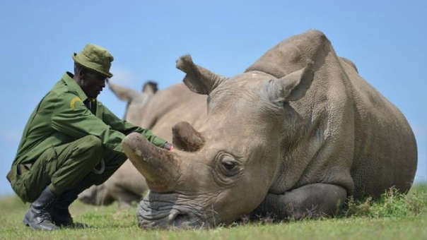 El último rinoceronte blanco del norte macho que quedaba, llamado Sudán, murió en marzo de este año.