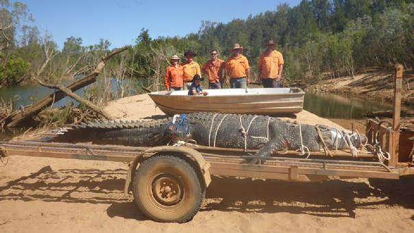 Los cocodrilos de agua salada no tienen problemas en trasladarse a ríos.
