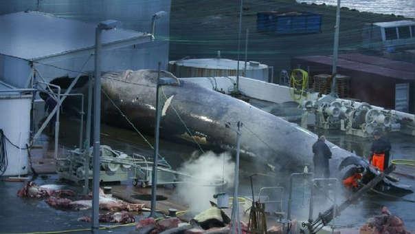 Imagen del cetáceo que la organización Sea Sheperd señala como una ballena azul.