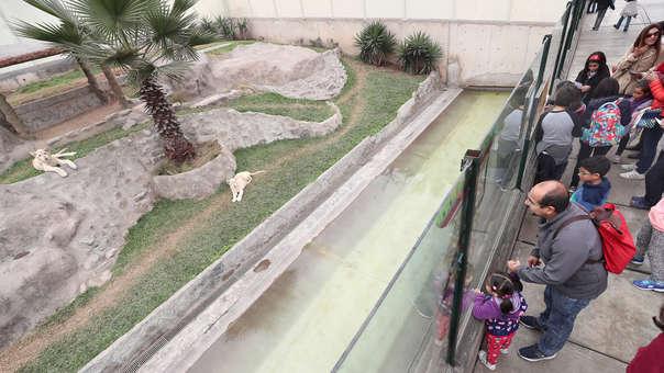 PERU-WHITE LIONS
