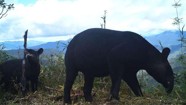 tapir pinchaque