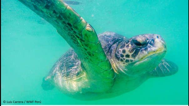 La frágil y preocupante situación de las tortugas marinas en Perú