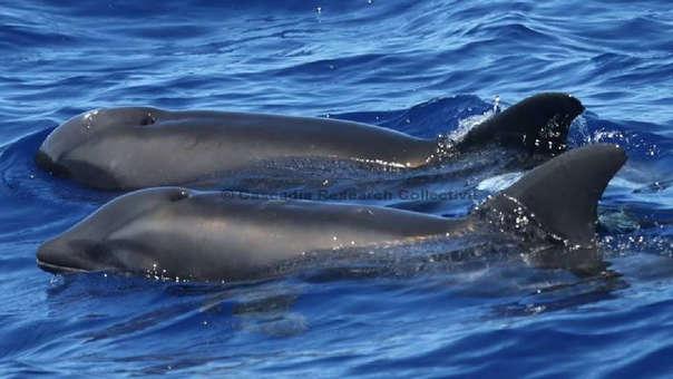 Aunque las posibilidades de encontrar a la ballena-delfín son limitadas, los investigadores regresarán a Kauai el próximo mes para investigar más a fondo el descubrimiento.
