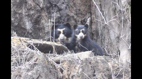 Perú: primer diagnóstico sobre fauna amenazada muestra 64 especies en peligro crítico
