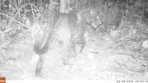 El jaguar melánico en Bolivia