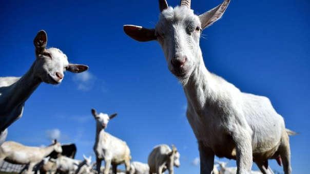 Las cabras reconocen las expresiones faciales de los humanos.