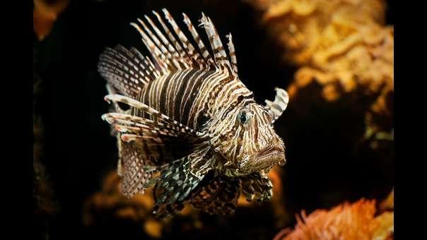 Biólogos crean joyas con pez León para combatir su invasión en el Caribe colombiano