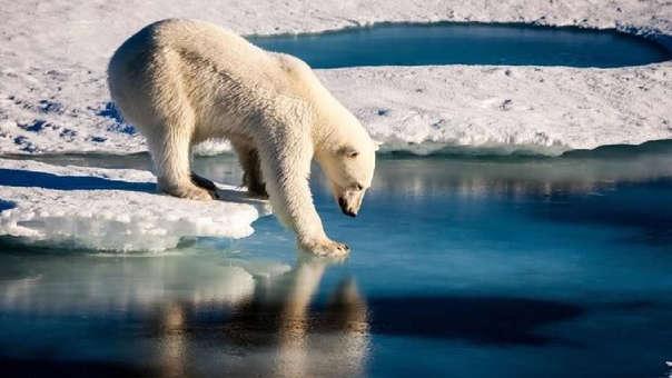 Un solo polar, una de las especias más amenazadas por el calentamiento global.