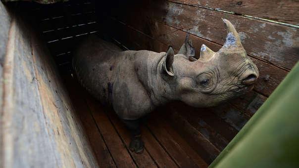 Junio del 2018. Uno de los rinocerontes negros en el Parque Nacional de Nairobi antes de ser trasladado.