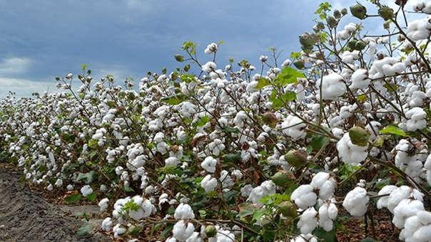 Producción de algodón se elevará en Lambayeque