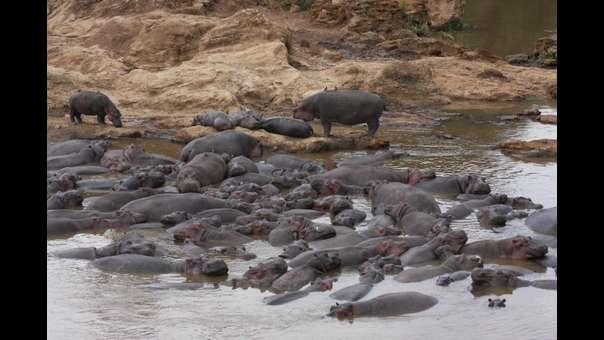 Muerte por heces de hipopótamos: los científicos resuelven una masacre de peces en Kenia