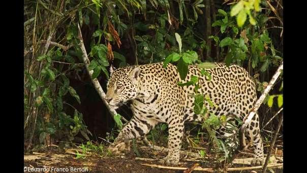 Mafias arremeten contra la población de jaguares en Iquitos