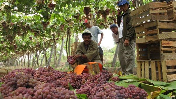 Exportaciones de uva crecen en Lambayeque