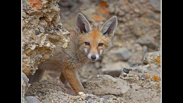 India: los zorros rojos dependen cada vez más de la basura y restos de comida